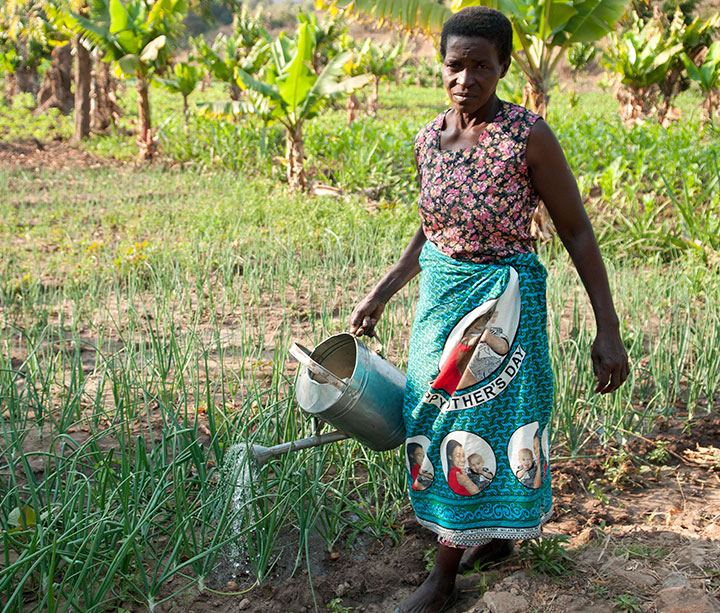 A Malawian farmer and ActionAid women's forum member waters her crops with a watering can in her maize field in Rumphi District, Malawi